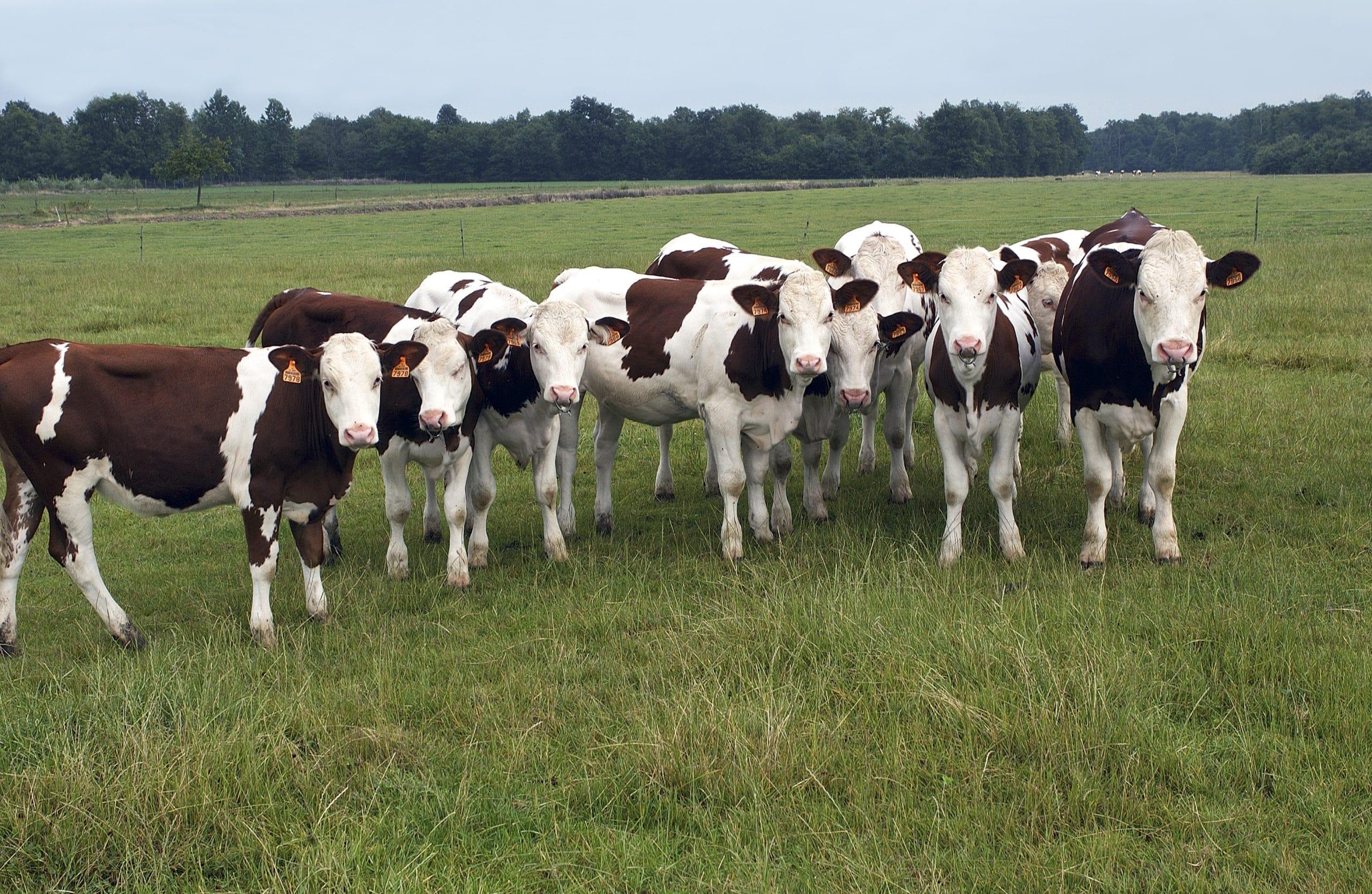 élevage génisses application gestion vétérinaire éleveur